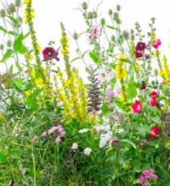 Bloemenmengsel, meerjarig