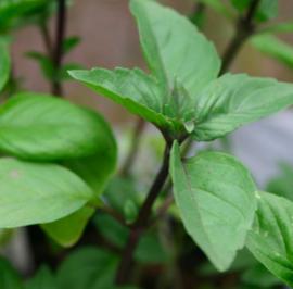 Kaneelbasilicum 'Cinnamon'
