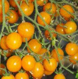 Cherrytomaat 'Yellow Clementine'