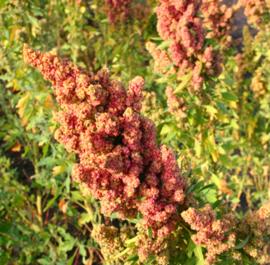 Gierstmelde (quinoa)
