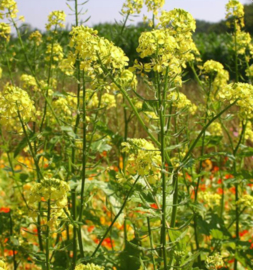 Gele mosterd - groenbemester