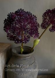 Allium Gigantheum Purple  68 cm