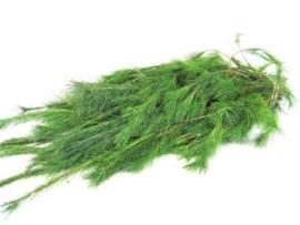 1 bos Pinus  prachtige kwaliteit