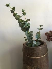 Mooie tak eucalyptus klein