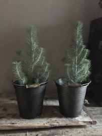 Pinus Silver Crest 35 a 40 cm hoog