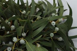 Eucalyptus Boule met blad