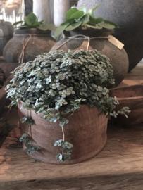 Zeer leuk grijzig plantje Pilea