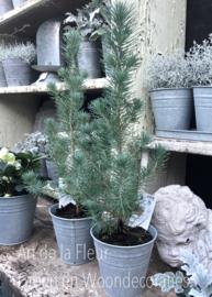 Blauw ( echt ) kerstboompje ong 35 cm