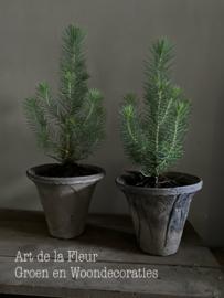Pinus boompje incl ruw potje