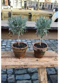 Lavendel boompje op stam in Dirty Old Look pot