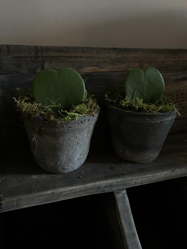 Hoya ( plantje in hartvorm ) incl ruw potje grijs
