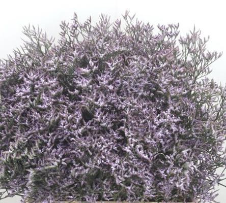 Limonium lilac  per tak