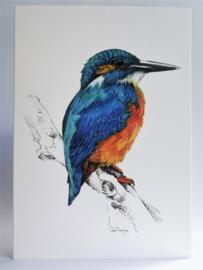 IJsvogel kleur
