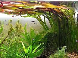 Aquariumplant - Vallisneria Giganthea Rubra
