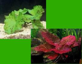5x Tijgerlotus mix  - Nymphaea lotus mix aquariumplant