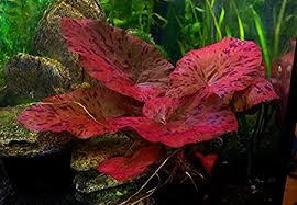Rode tijgerlotus  - Nymphaea lotus rood aquariumplant