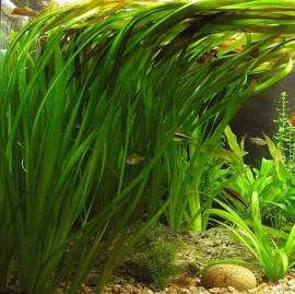 Aquariumplant - Vallisneria Spiralis
