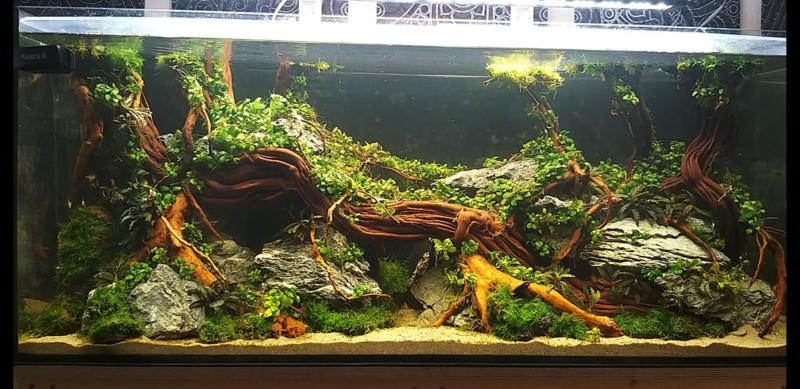 Golden wood 70-90cm