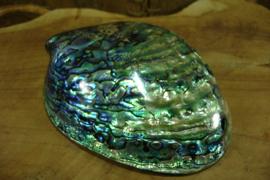 *[ N-0510 ]  Abalone Schelp +/- 13 cm. , Paua multi color, gepolijst