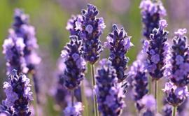 Lavendel olie 10 ml