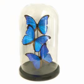 Vlinders Papilio Ulysses