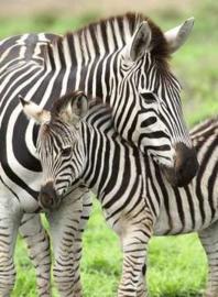 Ravensburger - Zebra Liefde -300XXL stukjes