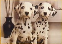 Full Diamond painting  Dalmatiërpups 40 x 50 cm