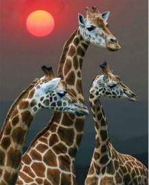 Full Diamond painting  giraffen 40 x 50 cm