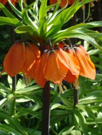 Fritillaria Aurora - 2 stuks