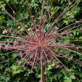 Allium Schubertii - 3 stuks