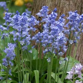 Hyacinthoides Hispanica Blauw - 15 stuks