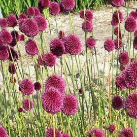 Allium Spaerocephalon - 30 stuks