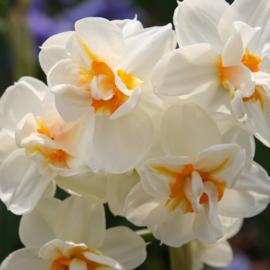 Narcis Cheerfulness - 8 stuks