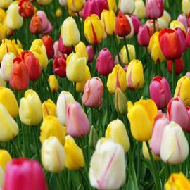 Franse tulpenmix - 35 stuks