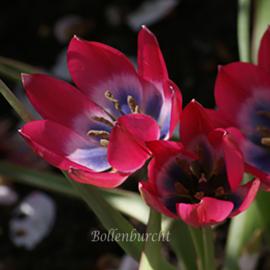 Tulp Little  Beauty - 25 stuks