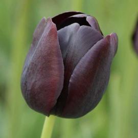 Tulp Queen of Night - 10 stuks