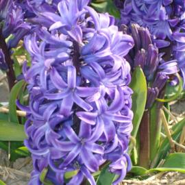Hyacint Blue Pearl - 6 stuks