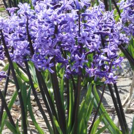 Hyacint Multiflora Anastasia - 6 stuks