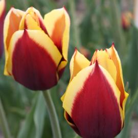 Tulp Gavota - 10 stuks