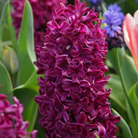 Hyacint Woodstock - 6 stuks