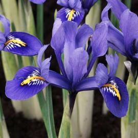 Iris Reticulata Harmony - 25 stuks