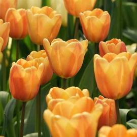 Tulp Apricot Foxx - 10 stuks