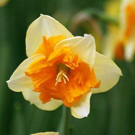 Narcis Congress - 10 stuks