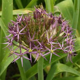 Allium Christophii - 6 stuks