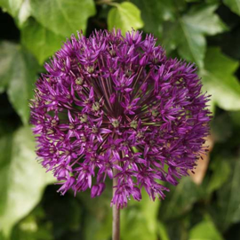Allium aflatunense Puple Sensation - 8 stuks