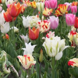 Pluktuin tulpenmix - 50 stuks