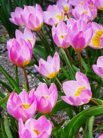 Tulp Lilac Wonder - 20 stuks