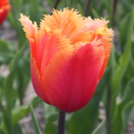 Tulp Lambada - 10 stuks