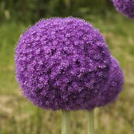 Allium Giganteum - 2 stuks
