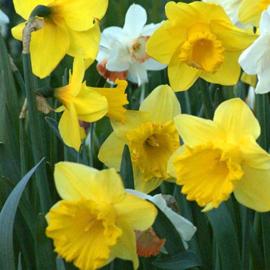 Narcis Grootbloemig geel - 50 stuks